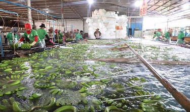 Cambodia exports more than 300,000 tonnes of bananas in 2020